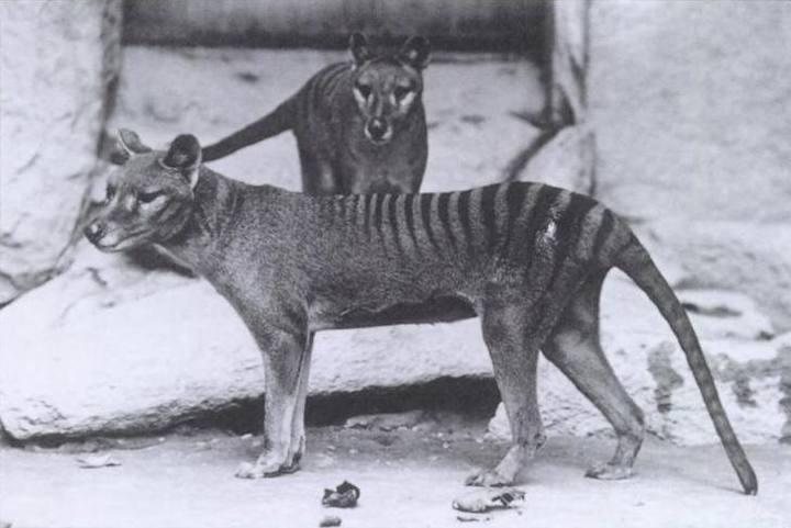 http://www.rtve.es/imagenes/tilacinos-lobos-marsupiales-pueden-renacer-gracias-a-ciencia/1280414396602.jpg