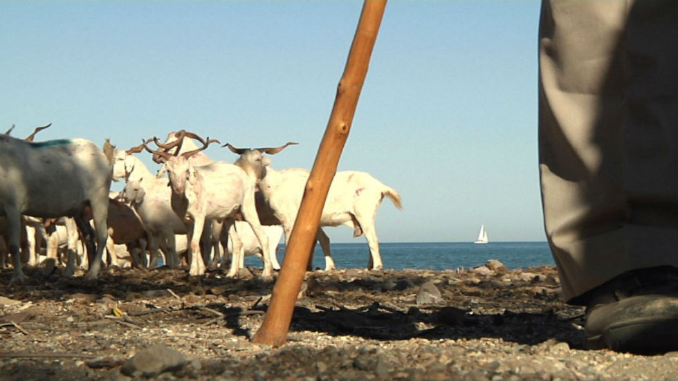Aquí la tierra - Unas cabras playeras