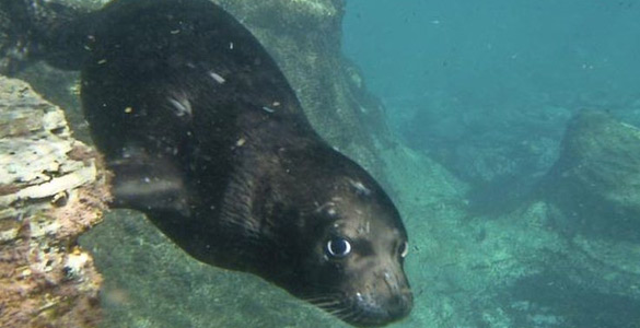 Unas de las focas monjes del Mediterráneo sumergida en el mar