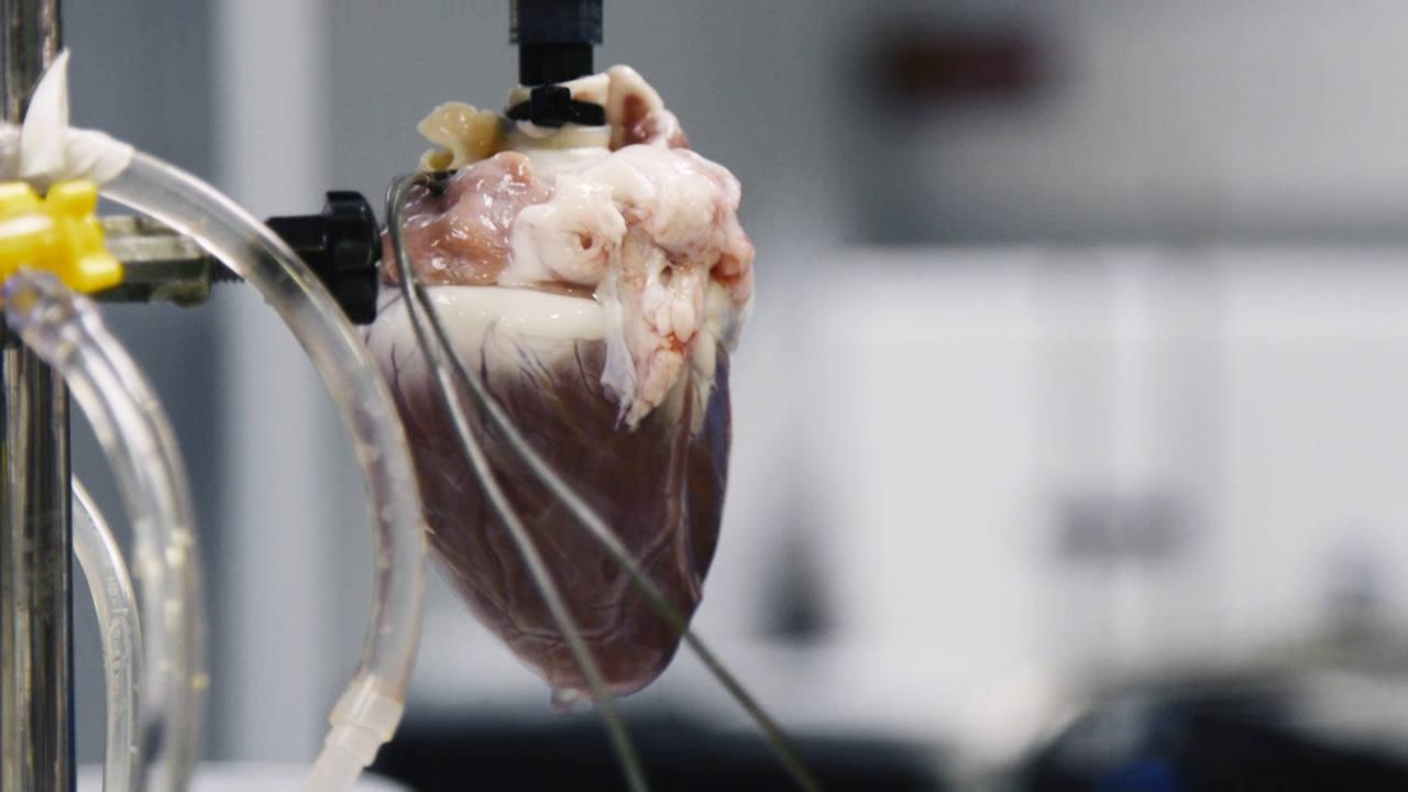Vemos un corazón humano hecho de células madre en los laboratorios del Hospital Gregorio Marañón