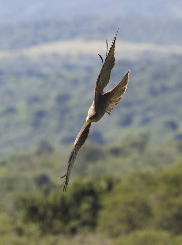 A Yellow Billed Kite flies during a display at the African Bird of Prey Sanctuary in Umlaas Road, 60 km (37 miles) west of Durban