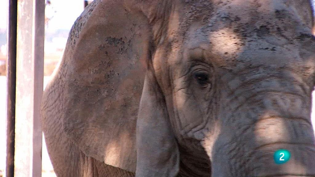Cinc dies a ....Zoo de Barcelona: La cura dels elefants