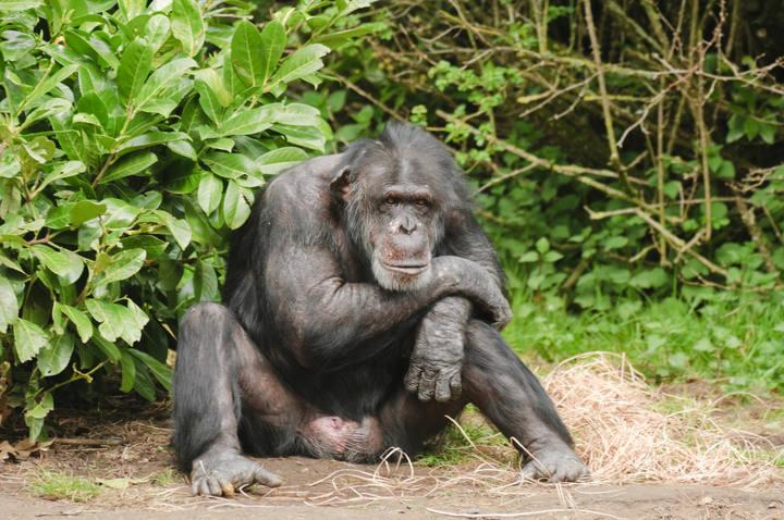 chimpancé pene erecto