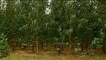 Integrar los cultivos de eucalipto en el bosque mediterráneo