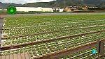 Agrosfera - Laboratorio de ideas - Lechugas hidropónicas