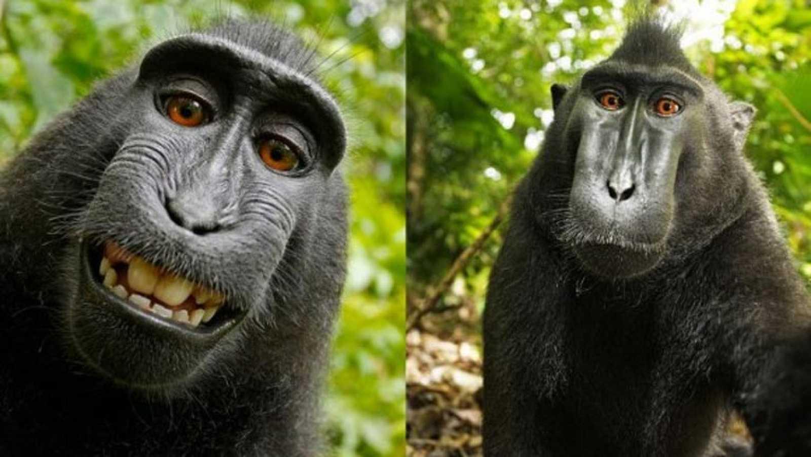 El Selfie De Un Mono Crea Polémica De Quién Es La Foto Rtvees