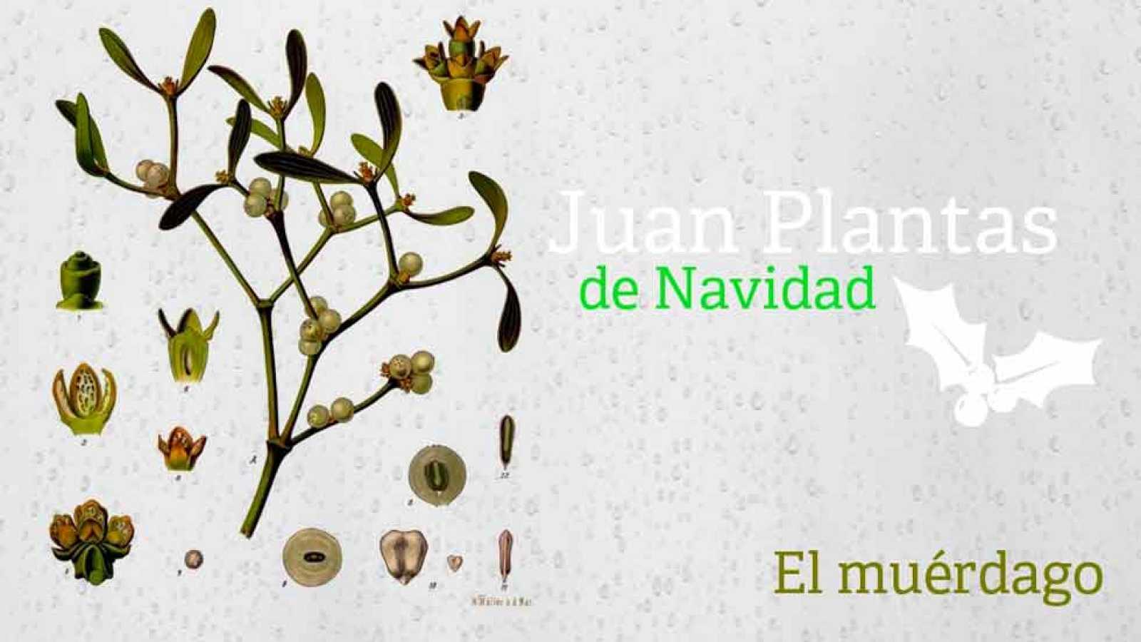 Aquí la Tierra-El muérdago de Juan Plantas - RTVE.es