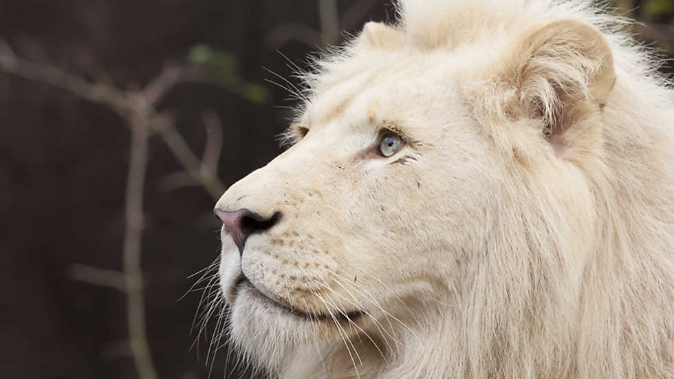 Resultado de imagen para León blanco