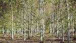 El bosque protector - Choperas