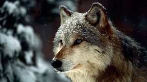 La loba de Yellowstone