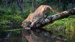 Grandes documentales - Mundo Natural: Pumas. La vida al límite