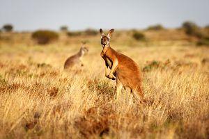 La vida secreta de los canguros: la ley de la turba