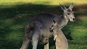 La vida secreta de los canguros: De la bolsa al suelo