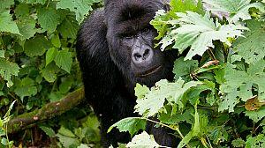 Mi vida con los gorilas