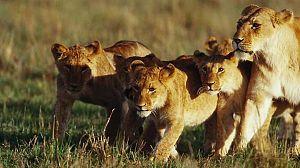 Los leones del pantano