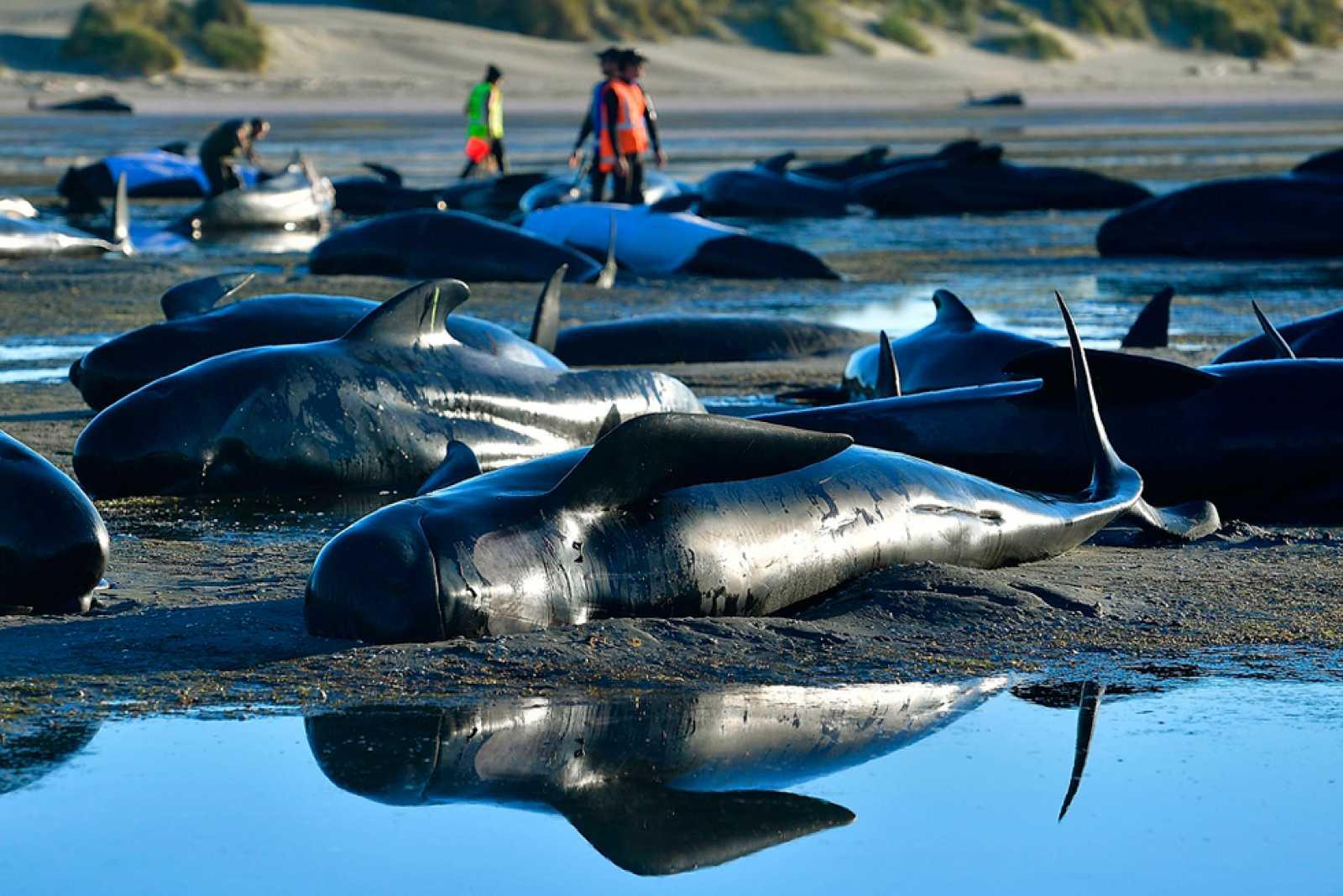 Para Todos Los Pblicos Cadveres De 300 Ballenas Varadas En Nueva Zelanda Podran Estallar Por Acumulacin Gases Reproducir Video