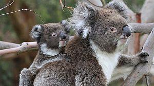 La vida secreta de los koalas: El país de los koalas