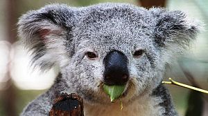 La vida secreta de los koalas: La época de reproducción