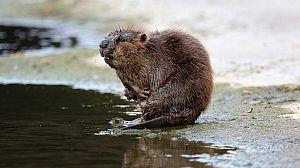 Guerreros del agua: Vuelven los castores