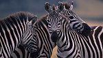 Grandes documentales - Secretos de la vida salvaje: Secretos de los grandes espacios abiertos