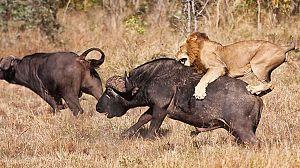 Viaje hacia el peligro: Búfalo contra león