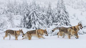 La familia de lobos árticos y yo. Capítulo 1