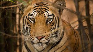 Secretos de la India salvaje: Las selvas del tigre