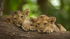 Secretos de la India salvaje: Los leones del desierto