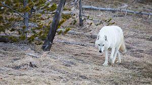 Loba blanca: La loba blanca de la manada del Gran Cañón