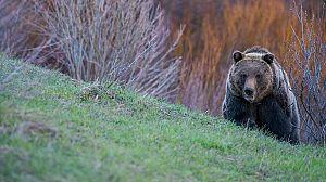 Yellowstone salvaje: Verano Grizzly
