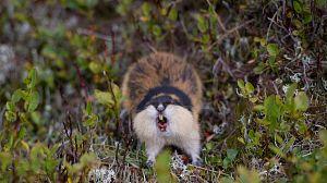 Lemming, el pequeño gigante del norte