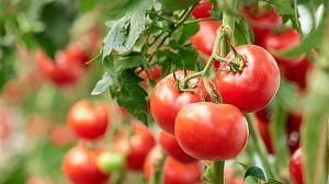 Comida al descubierto: Tomates prebióticos y gelatina