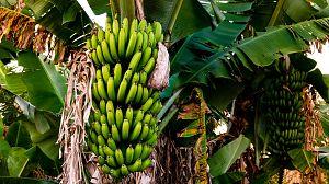 Comida al descubierto: Plátanos, la carne planta
