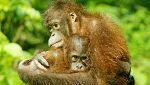 Dramático descenso del número de orangutanes en Borneo