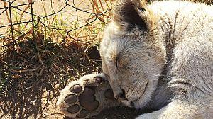 Leones Blancos, nacidos salvajes: Con todo en contra