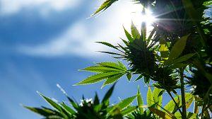 El filón de la marihuana