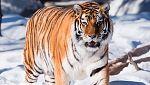 Grandes documentales - A la caza del tigre ruso