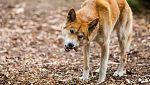 Grandes documentales - El verdadero Dingo