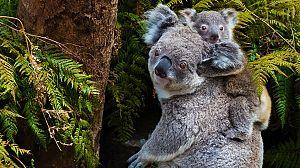 Los koalas, una vida lenta en un mundo acelerado