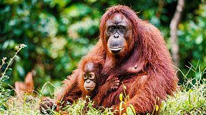 Escuela de animales: Orangutanes