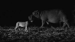 La vida nocturna de los hipopótamos