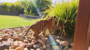 Otros documentales - Tigres en casa. Episodio 4