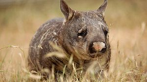 Australia salvaje: El reino del Wombat