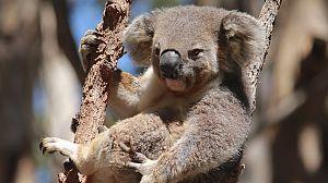 Australia salvaje: El bosque de los koalas