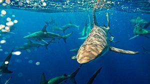 Confluencia de tiburones