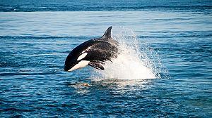Orcas: Aletas de cambio
