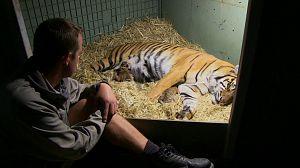 Tigres en casa. Lo que sucedió después. Capítulo 1