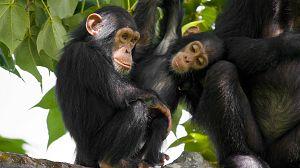 Dinastías: Chimpancés