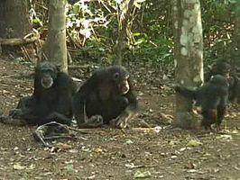 Los chimpancés lloran la muerte...