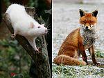 El hombre y la tierra - El baile de la rata y el raposo